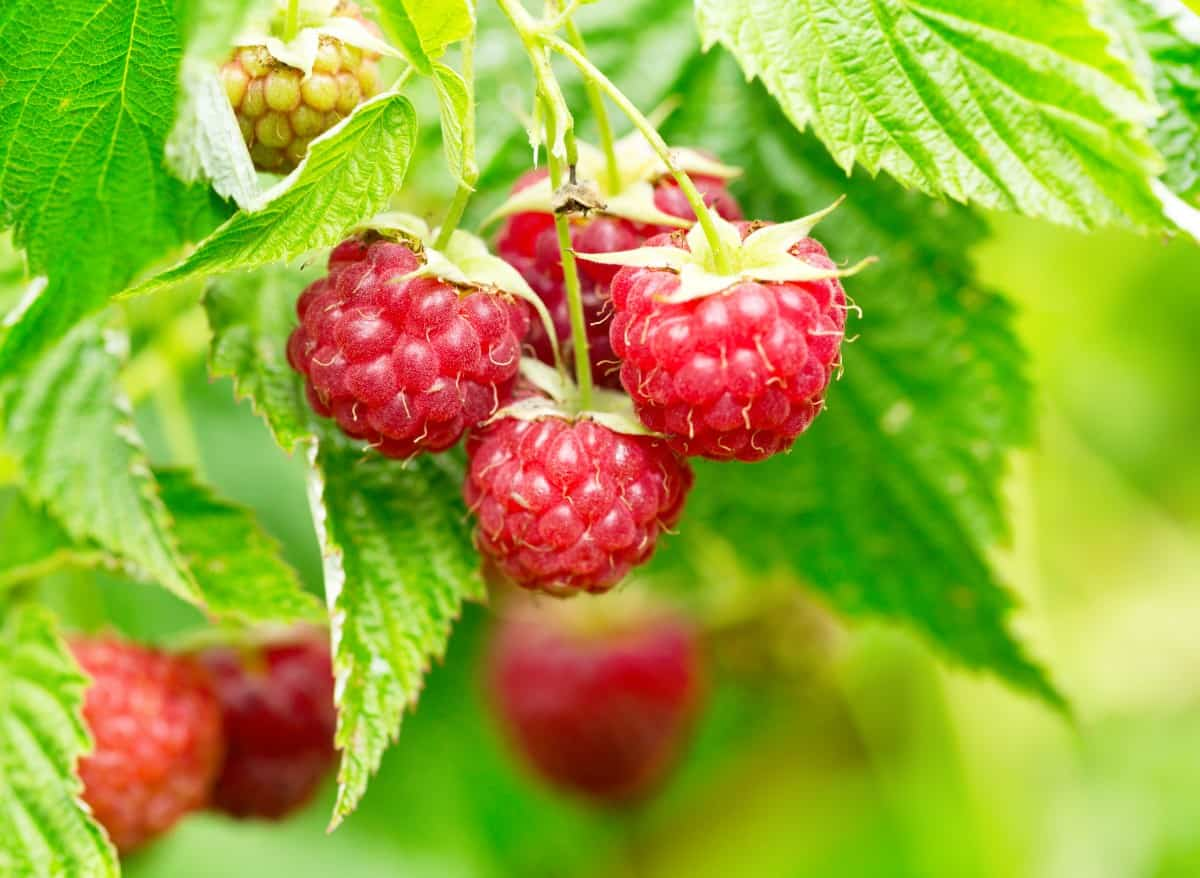 Raspberry shrubs grow well in containers or in the ground.