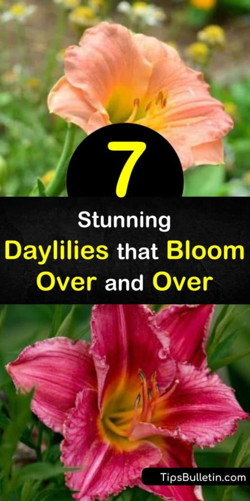 Discover how to enjoy daylily flowers from spring through fall by filling your garden with reblooming flowers. Grow daylilies with a long bloom time such as Pardon Me, Happy Returns, Apricot Sparkles, and Stella de Oro. #rebloomingdaylilies #longbloomdaylilies #daylily #rebloom