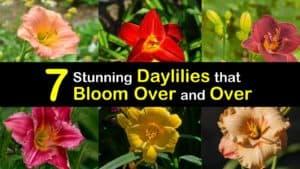 Reblooming Daylilies titleimg1