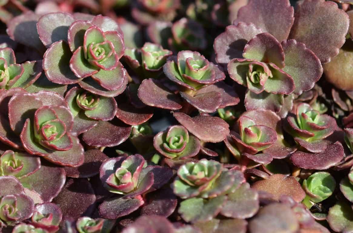 Red carpet sedum offers a pop of color to garden areas.