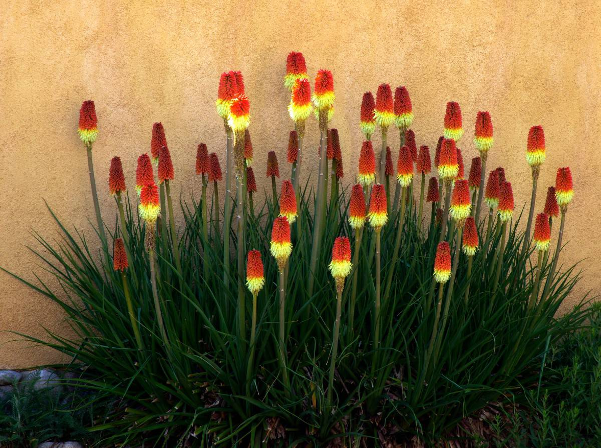 The red hot poker or torch lily is a striking perennial.