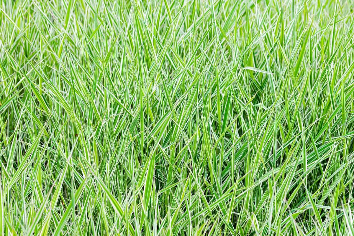 Reed canary grass works well for erosion control but it becomes invasive quickly.