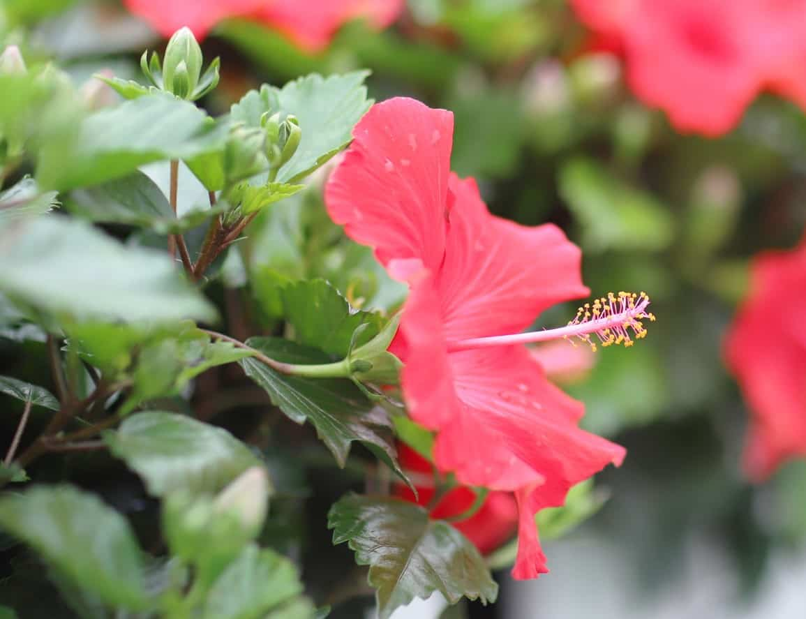 Hummingbirds love the nectar in rose of Sharon blooms.