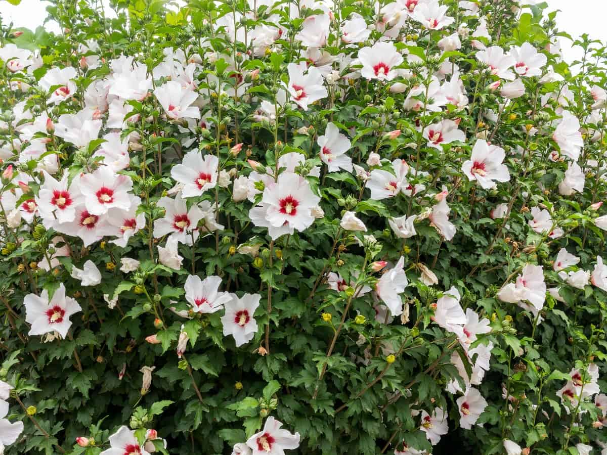 Rose of Sharon blooms longer when fertilized.