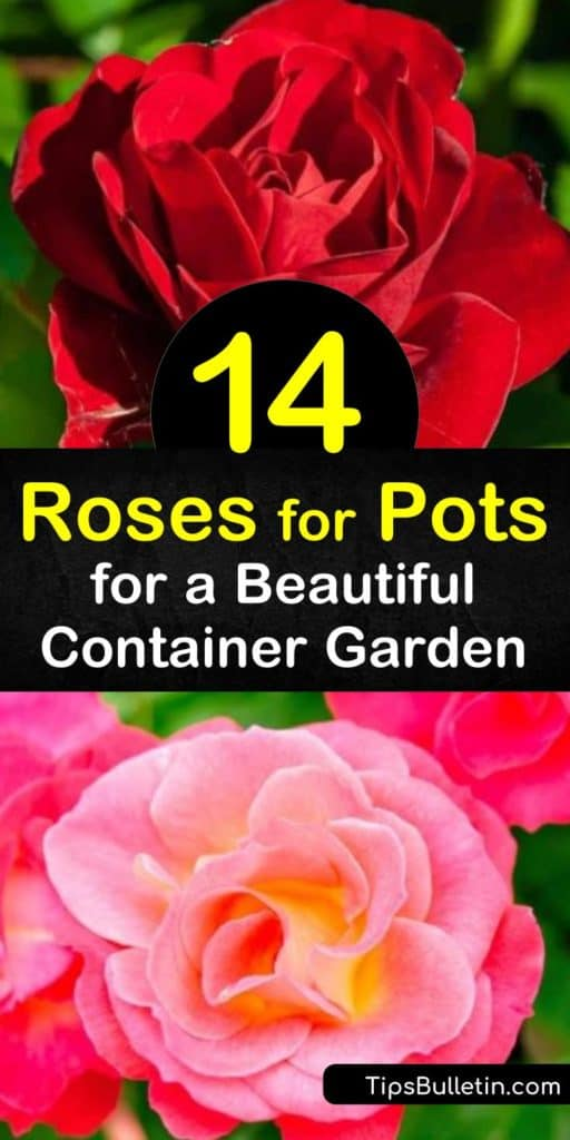 Learn how to create a beautiful rose garden with container roses by planting climbing roses in large pots and miniature roses in a terra cotta pot. Enjoy vibrant color all growing season with a potted hybrid tea or floribunda rose. #rosesforpots #container #roses #growingroses #pots