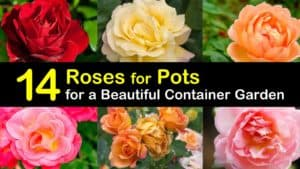 Roses for Pots titleimg1
