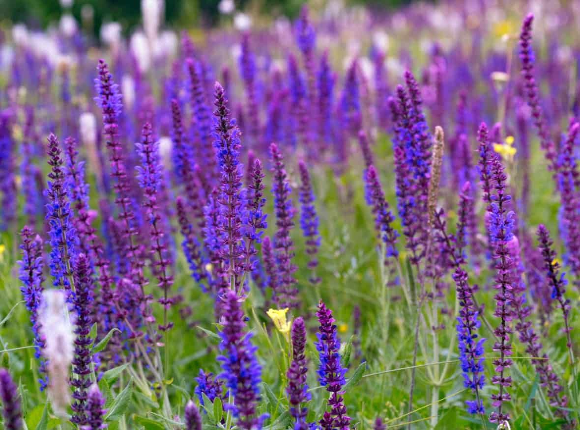 Salvia or sage has a long blooming time.
