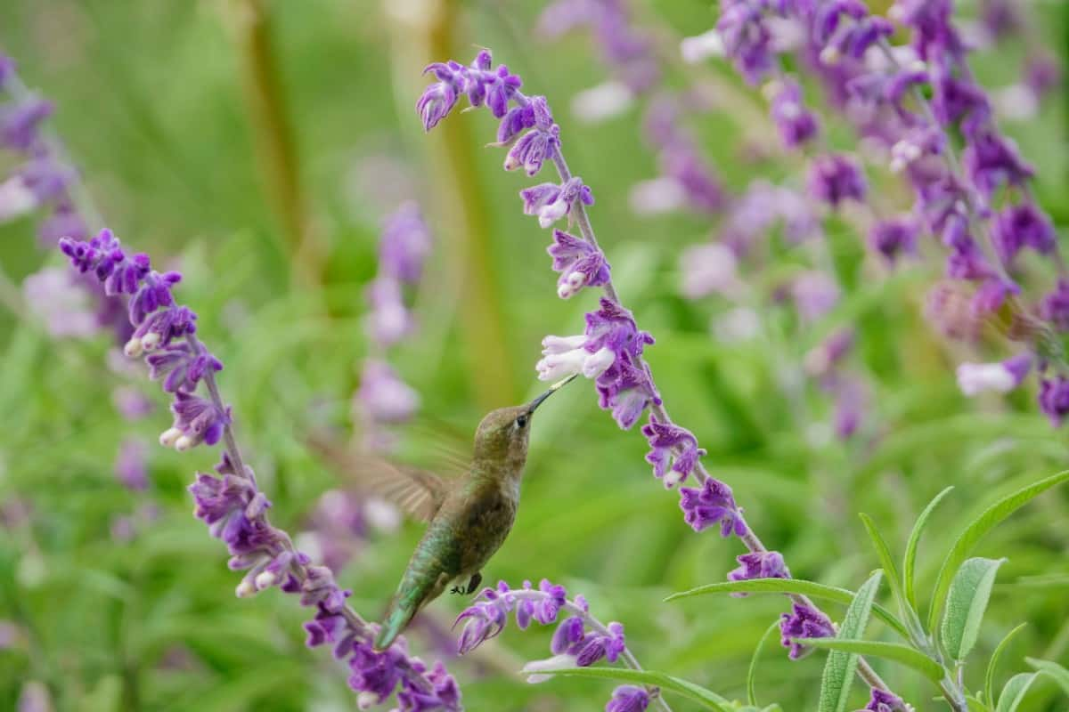 Salvia is an easy-to-grow perennial flower.
