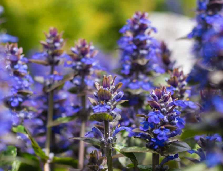Salvia is a member of the mint family.