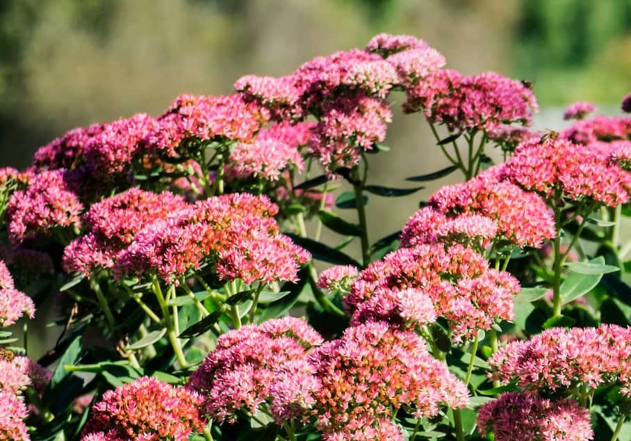 Sedum is a plant that butterflies enjoy.