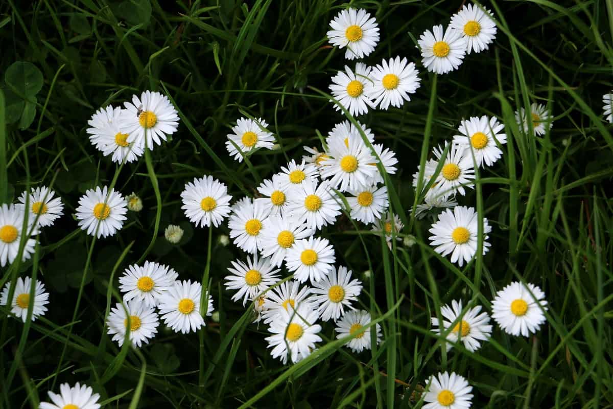 Shasta daisies spread easily throughout the garden.