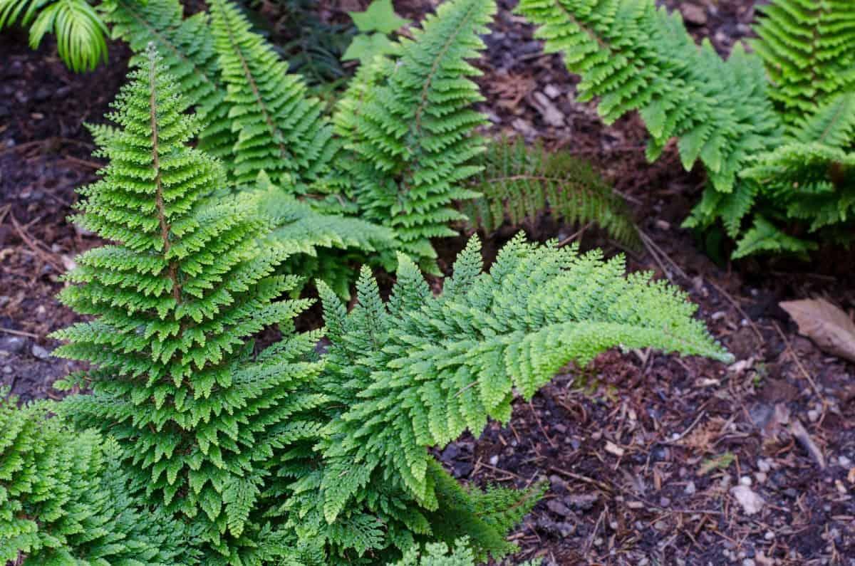 Sun-loving shield ferns reproduce via spores.