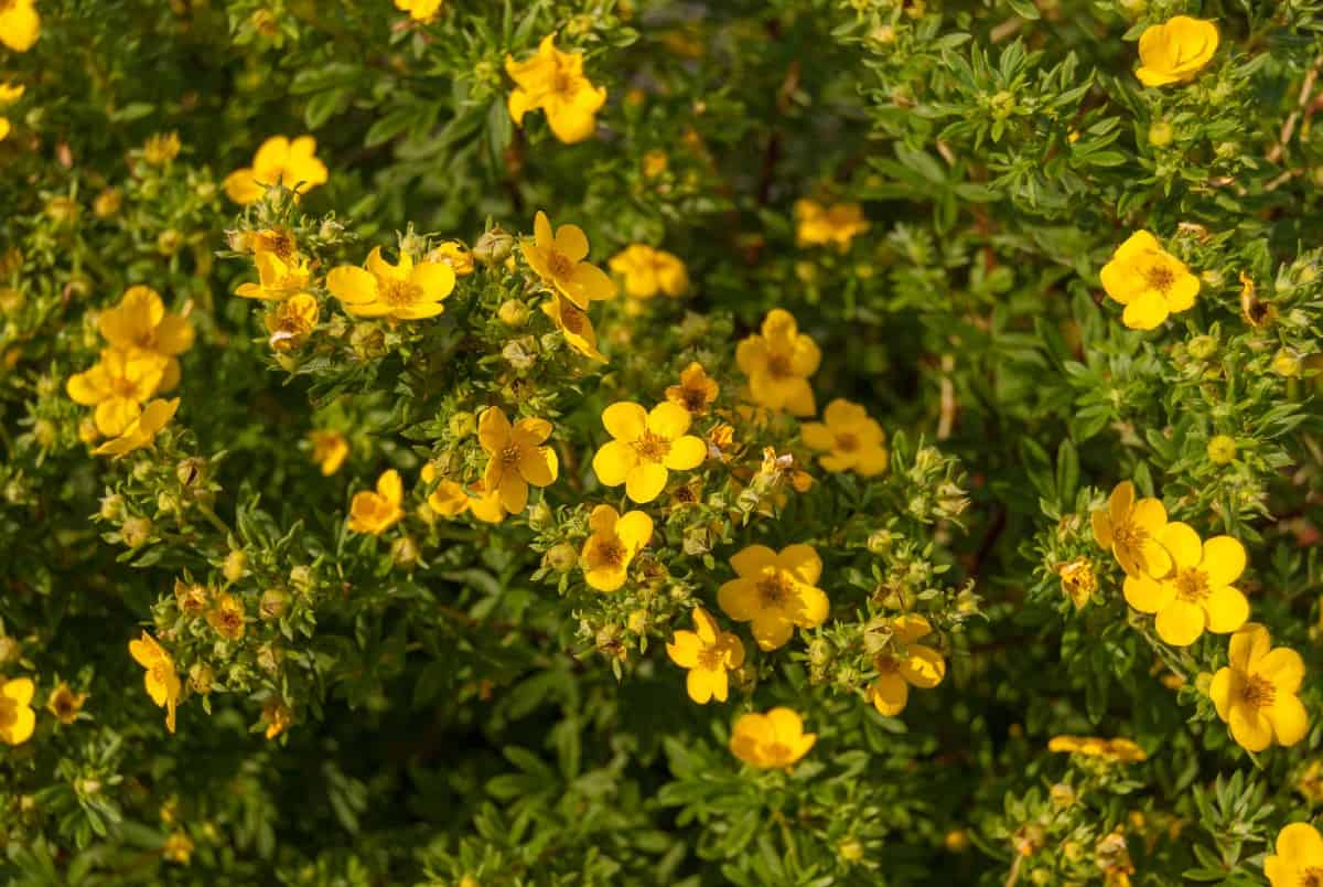 Shrubby cinquefoil has pretty yellow flowers and inedible fruits.