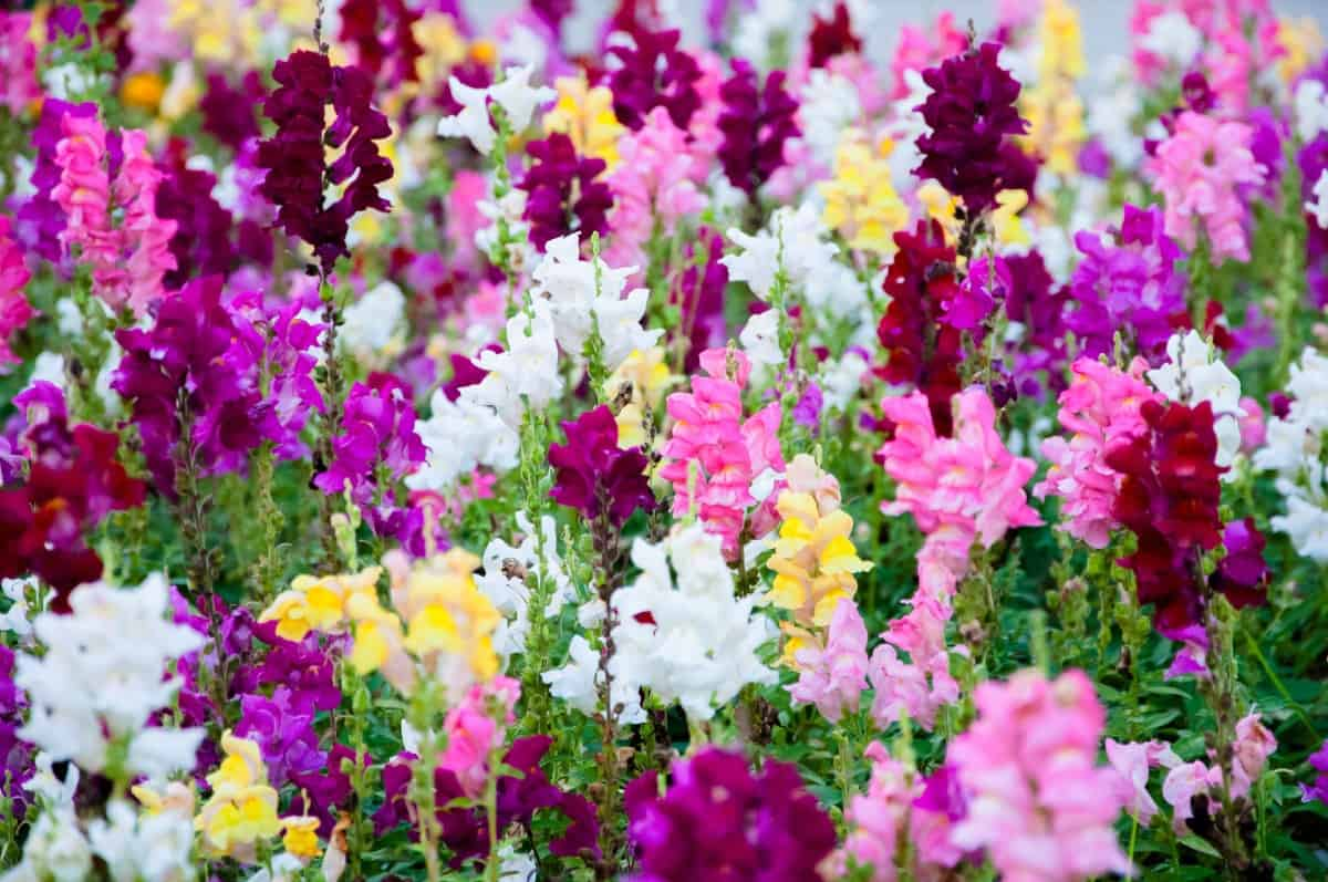 Snapdragons are great to use in pots around the veggie garden, as they repel deer.