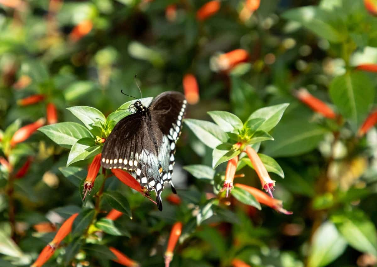 Spicebush swallowtails depend on the spicebush for caterpillar growth.