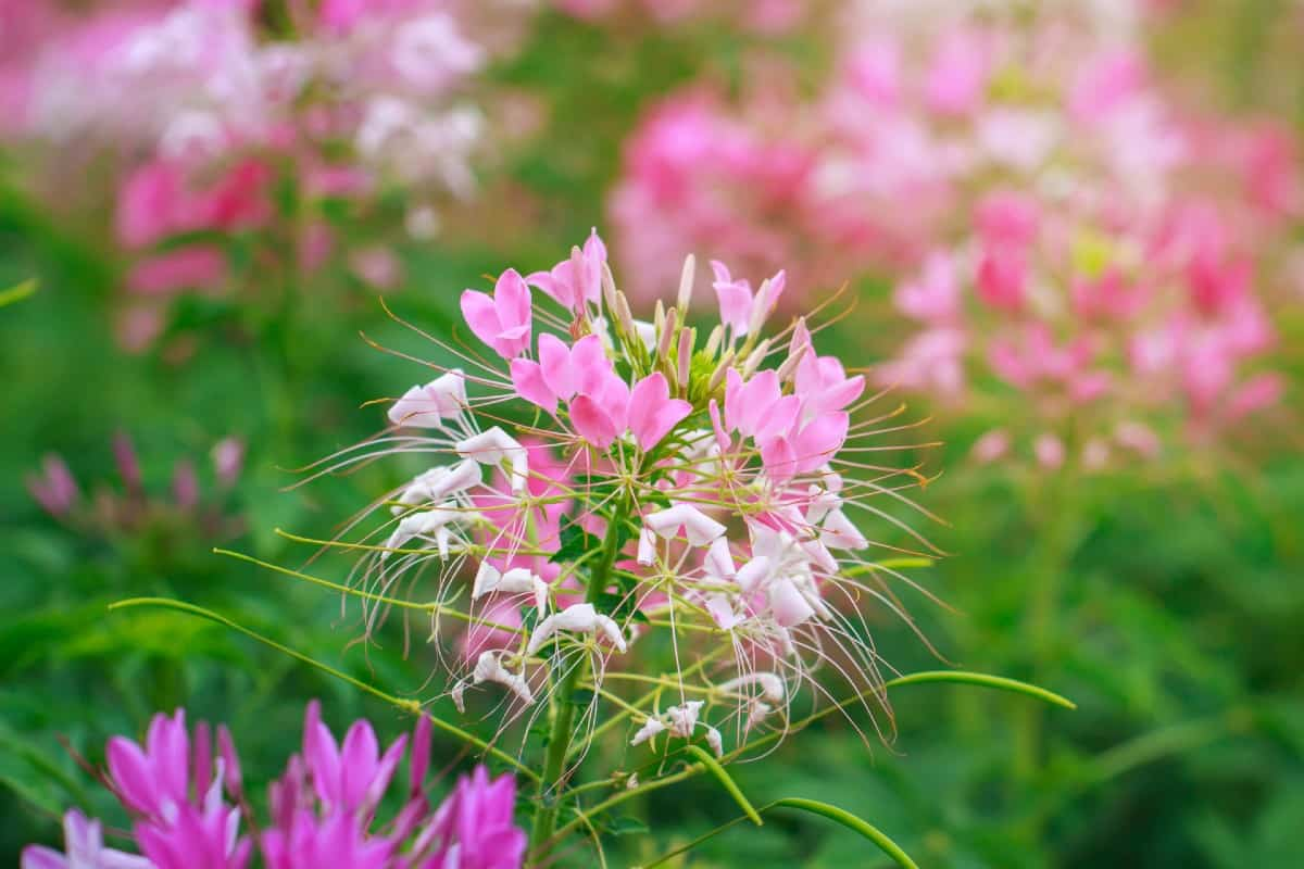 The spider flower or cleome doesn't mind the heat.