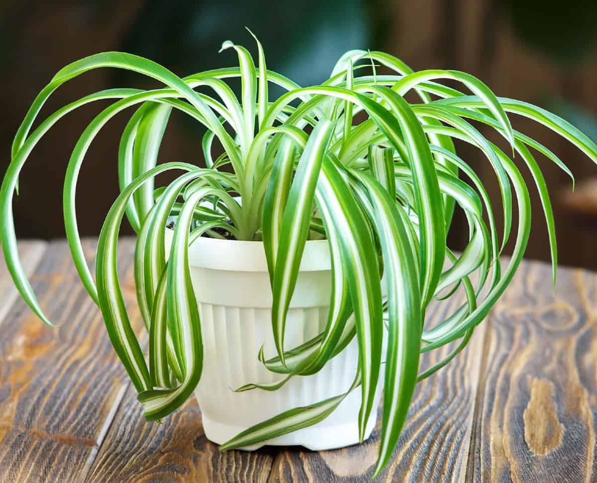 Spider plants are easy to grow and propagate.