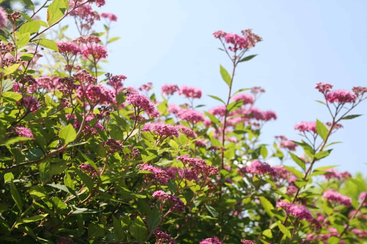 Spirea bushes have pink or white blossoms that last all summer.