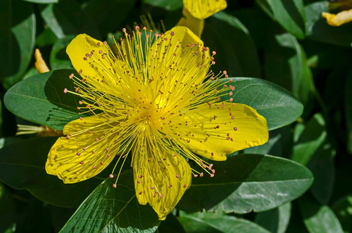 Golden rule St. John's wort makes an excellent ground cover.