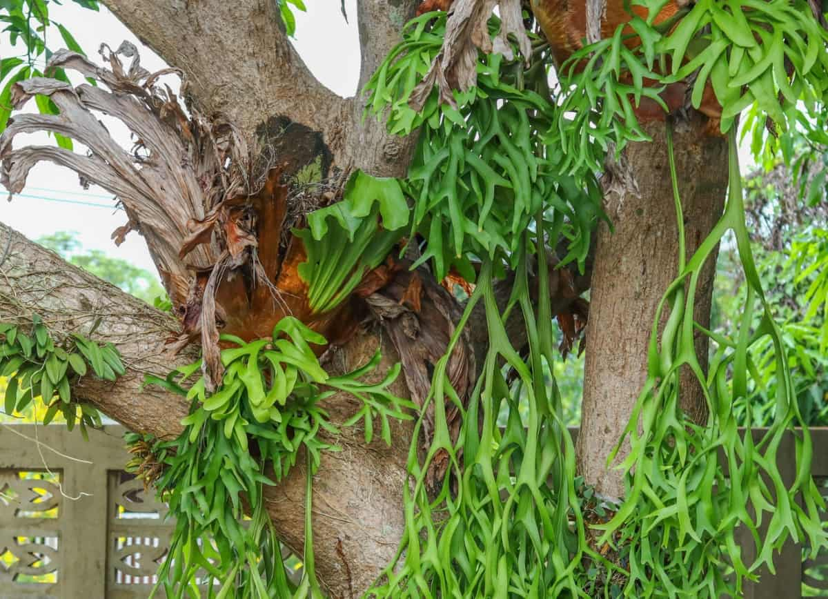 Staghorn ferns are some of the most unusual climbing ferns.