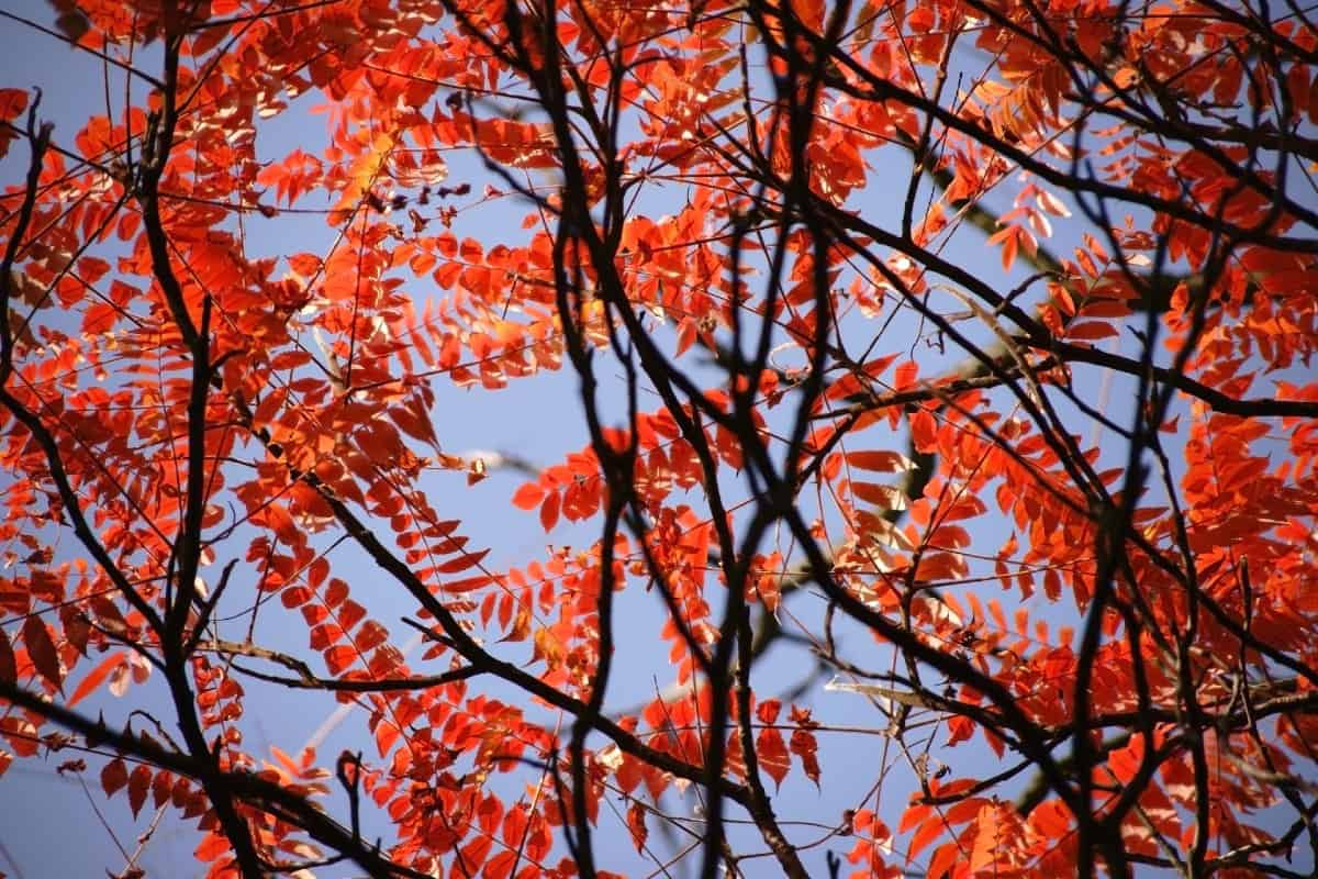 The staghorn sumac shrub has impressive fall foliage.