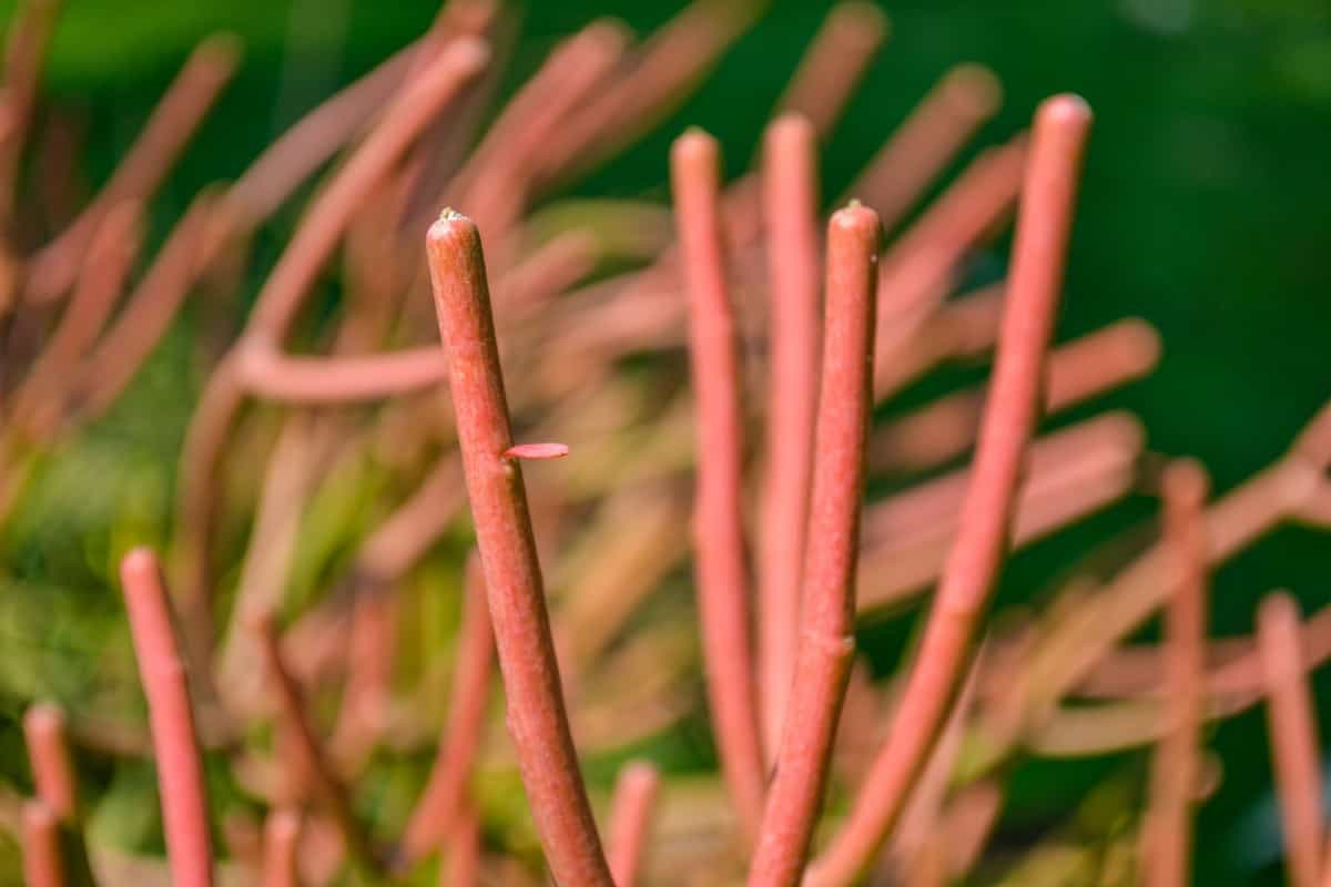 Sticks on fire is a highly toxic succulent.