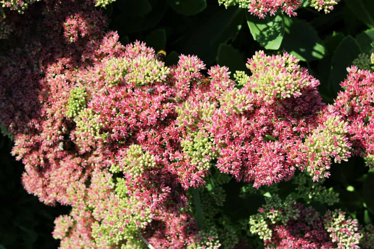 Stonecrop is an easy succulent to grow.