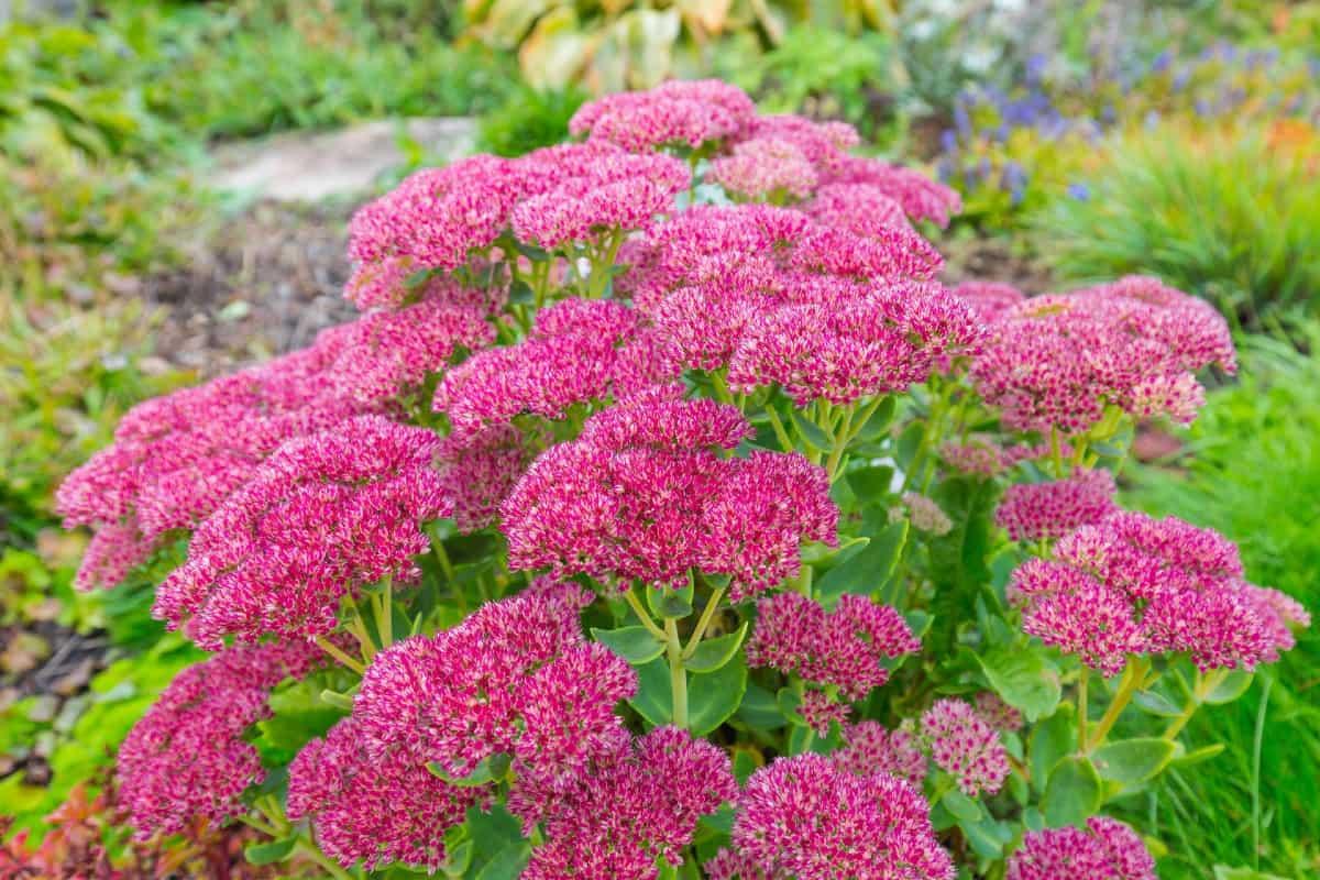 Stonecrop is a drought-tolerant shrub.