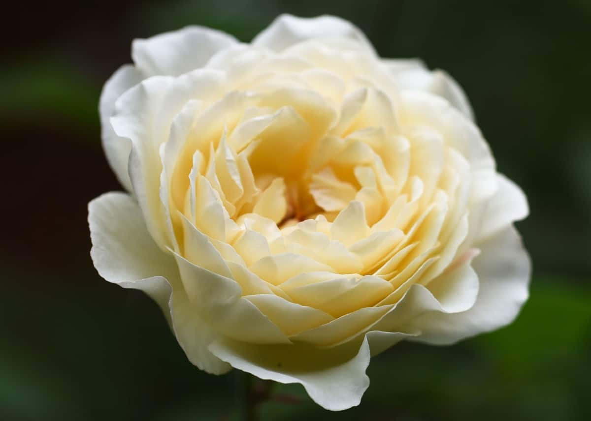 Summertime roses are climbers with a sweet fragrance.