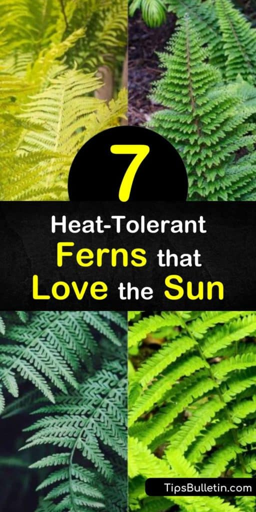Discover how to fill sunny areas of the yard and garden with sun loving ferns such as the cinnamon fern, shield fern, ostrich fern, and lady fern. Many of these ferns spread through creeping rhizomes, and fill empty spaces with ease. #sunlovingferns #ferns #sunloving #plants