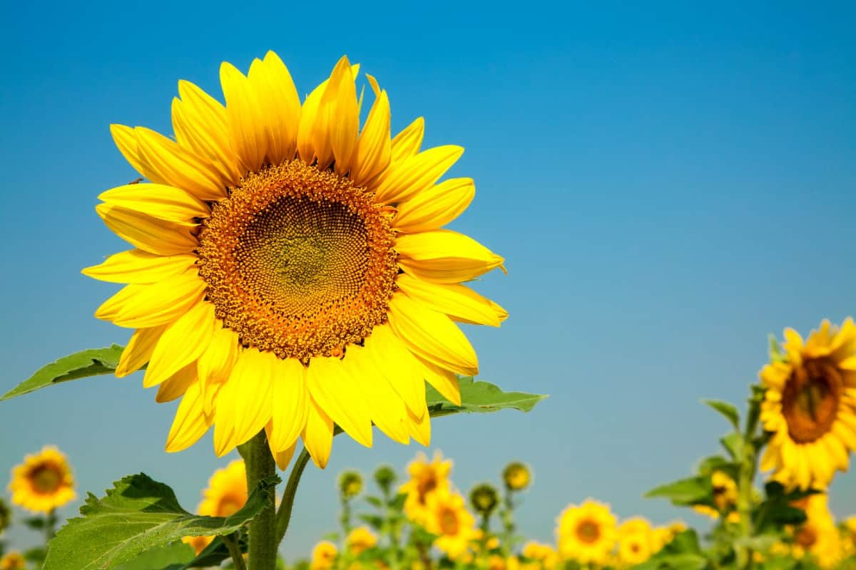 Sunflowers are easy to grow from seed.