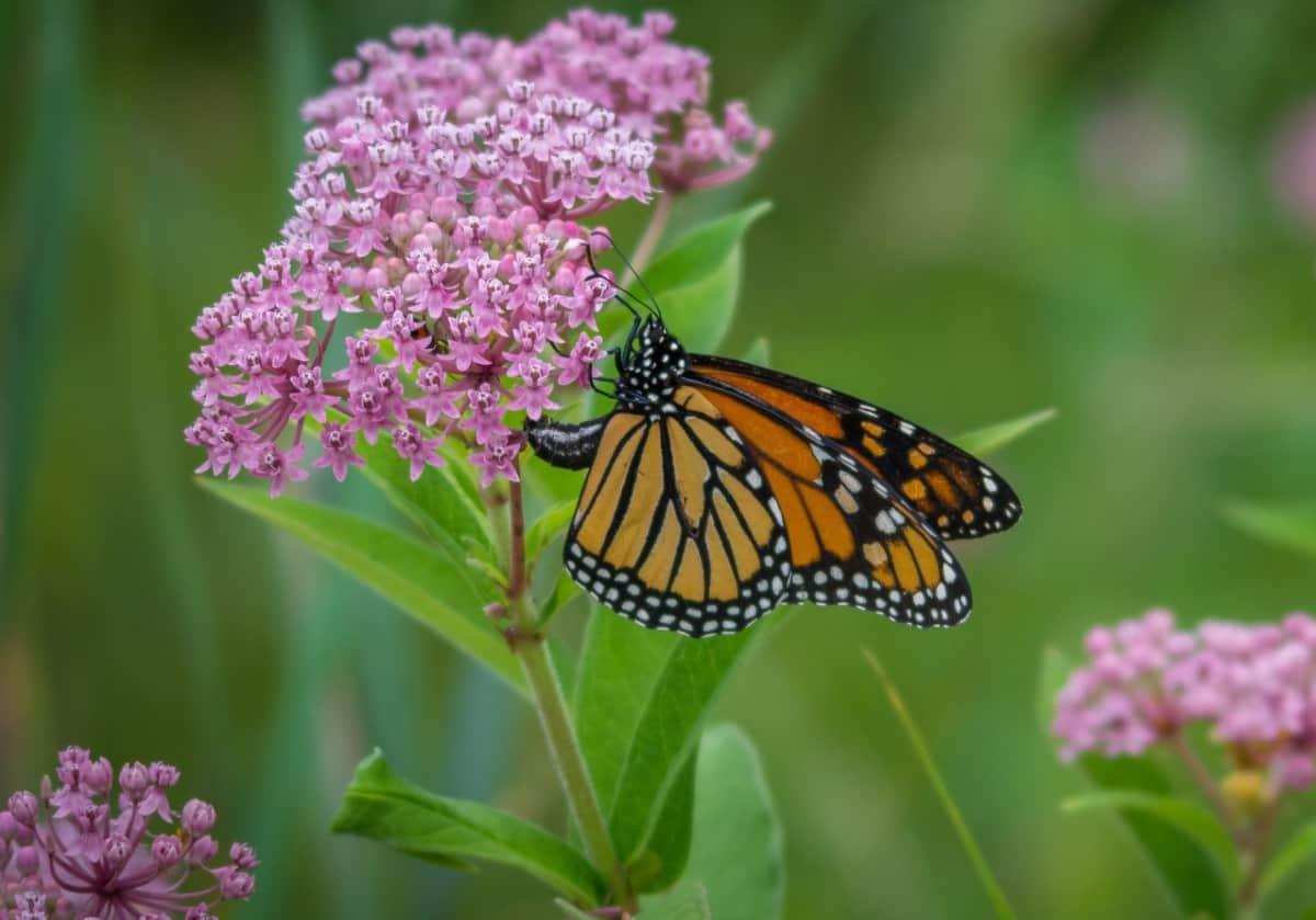 If you want monarch butterflies coming to your yard, you need swamp milkweed plants.
