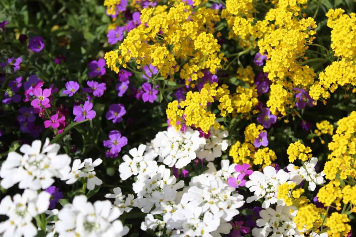 Sweet alyssum has a pleasant scent.