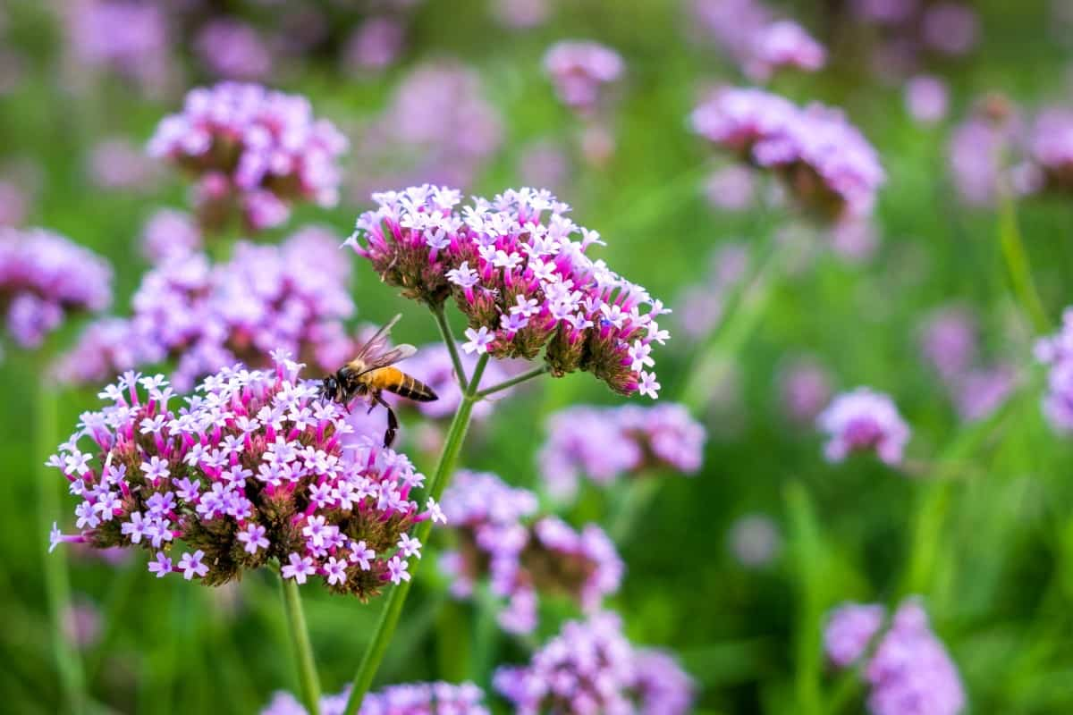 Tears of Isis or verbena is an annual that is perfect for container gardening.