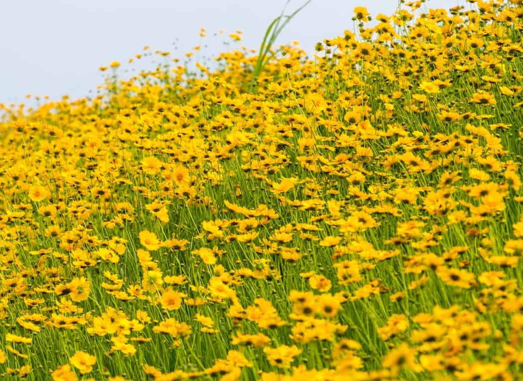 Tickseed needs full sun and well-draining soil.