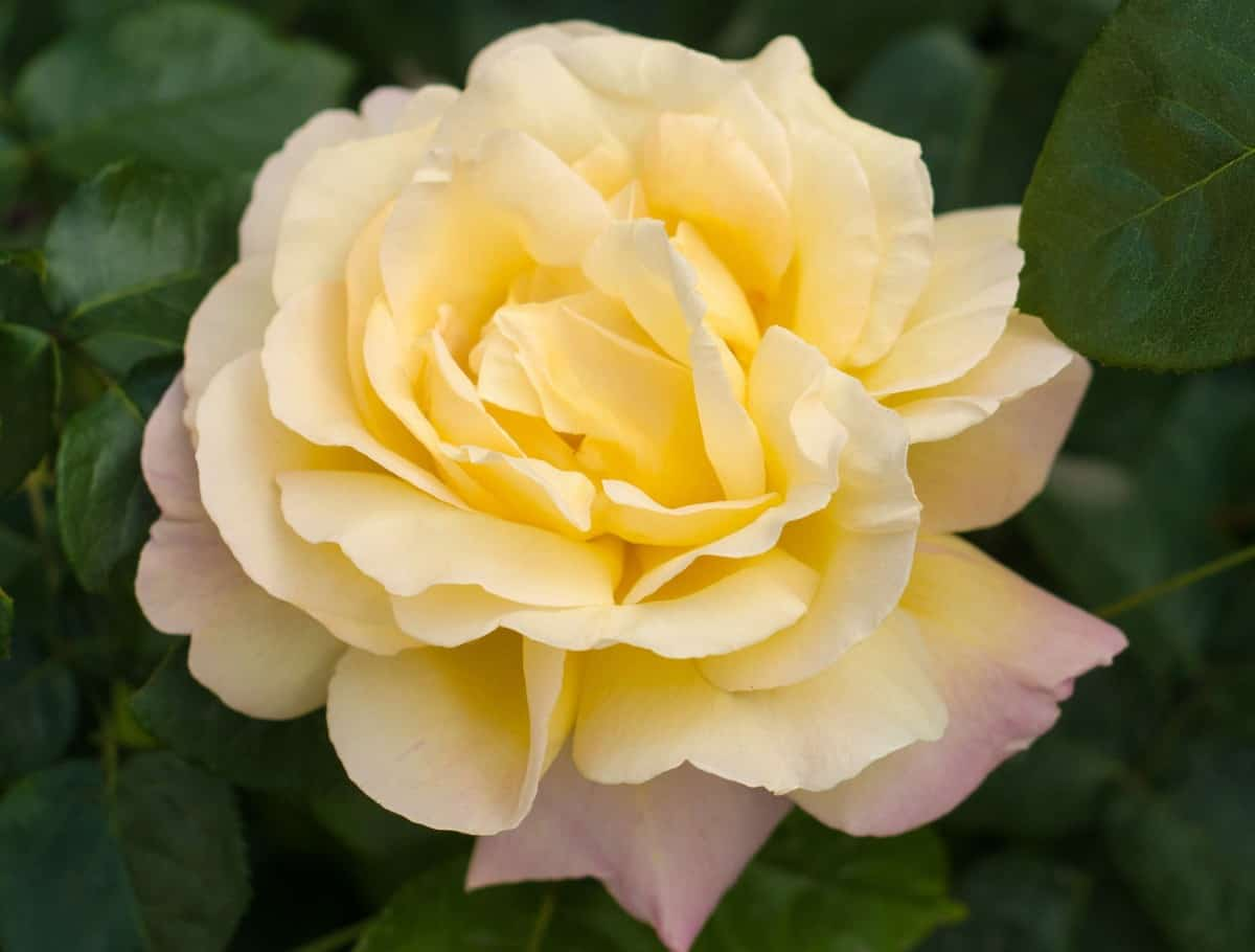 The togmeister rose does well in a pot.