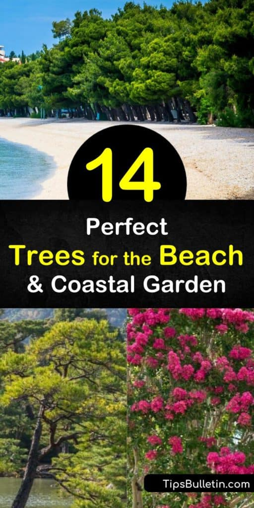 Learn how to grow the perfect trees for your coastal yard to create a beautiful seaside oasis. It's important to choose drought and sun tolerant trees that handle strong winds and salt spray, such as the live oak or cabbage palmetto tree. #treesforthebeach #coastal #trees #coast