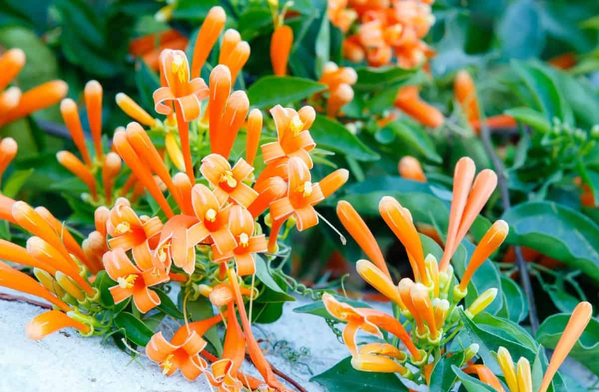 The tubular flowers of the trumpet vine attract hummingbirds.