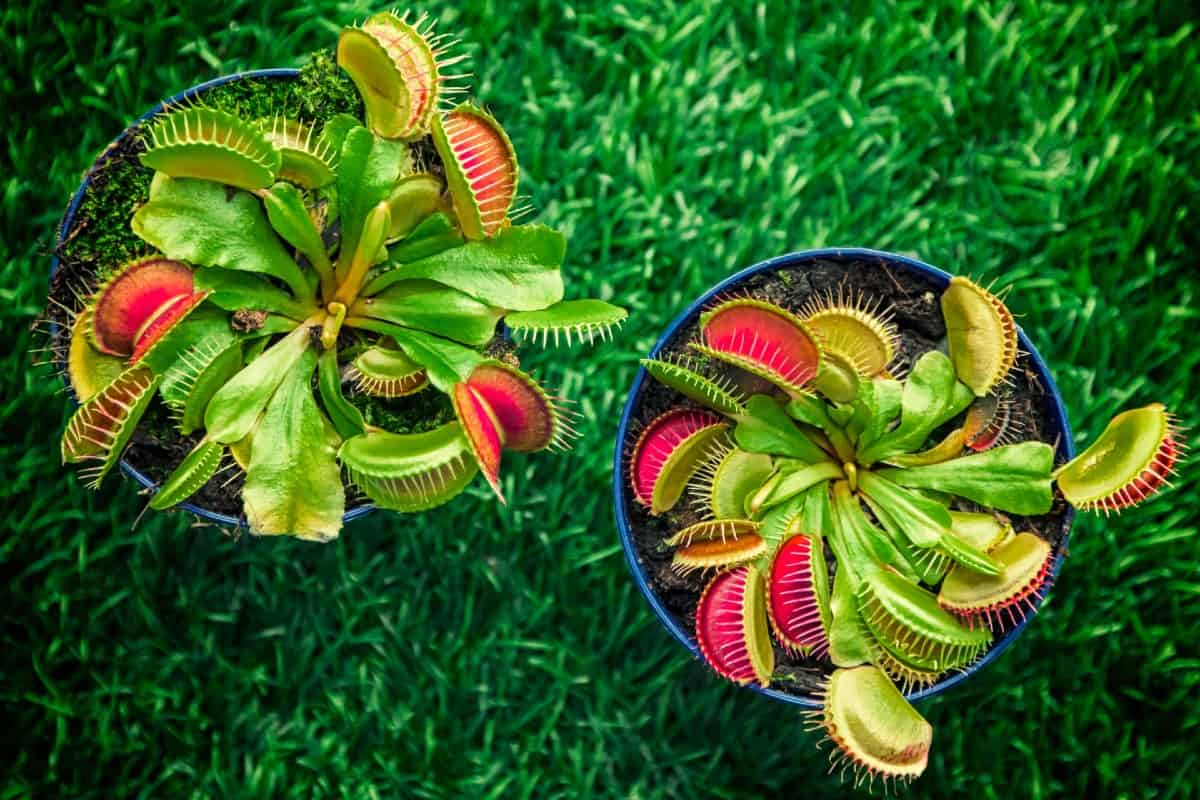 The Venus flytrap is probably the most well-known flesh-eating plant.