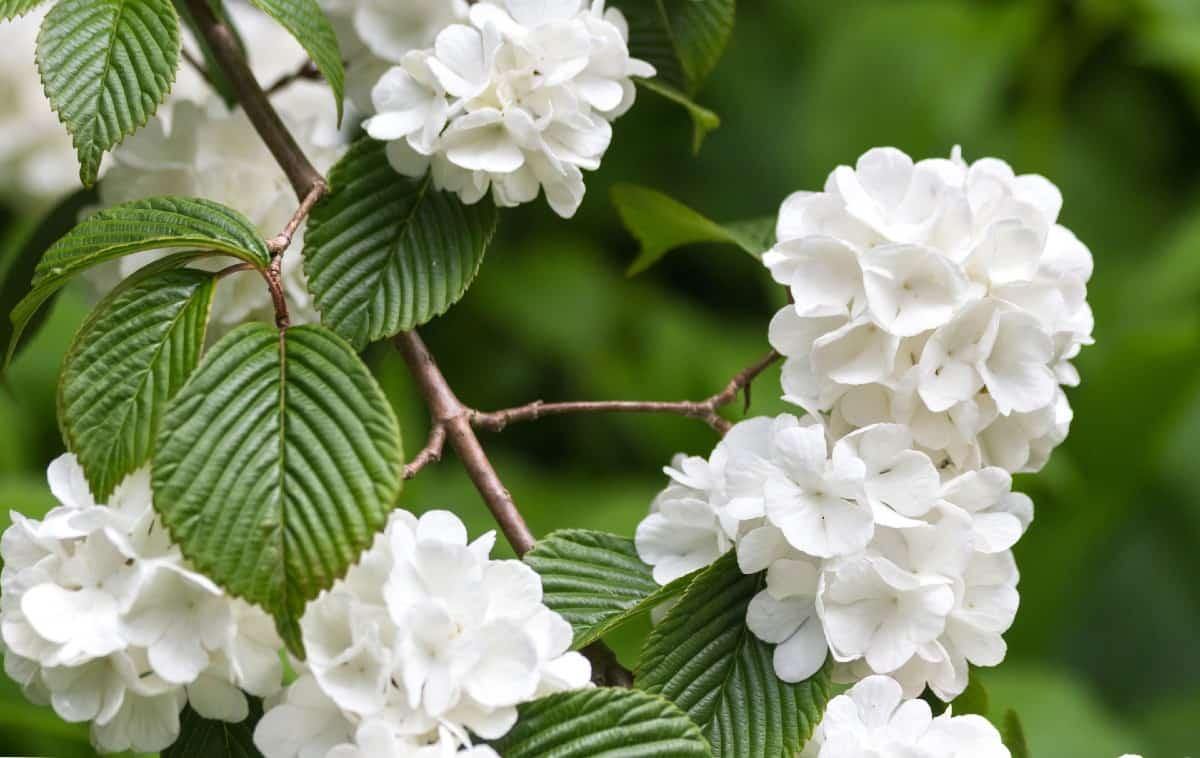 The opening day doublefile viburnum produces baseball-like flowers.