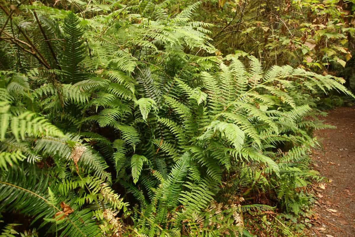 The Western sword fern is a majestic specimen.