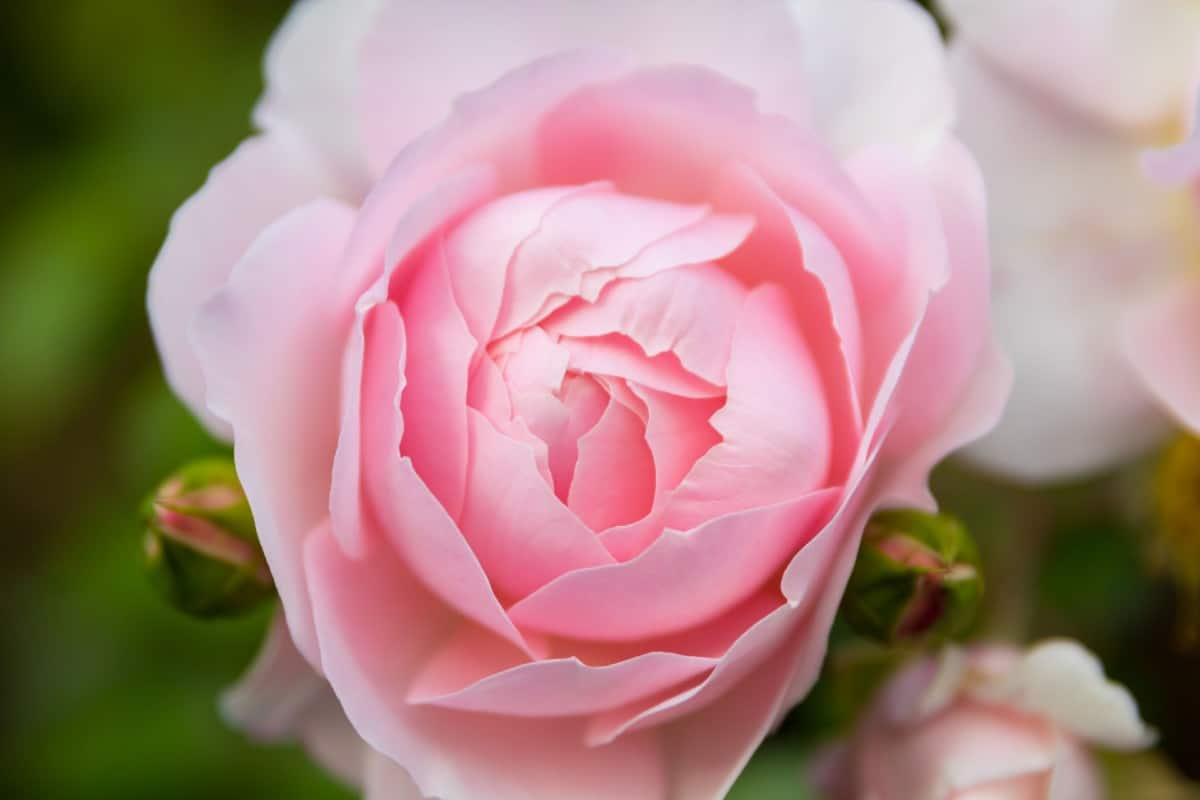 For large blooms, grow the wildeve rose.