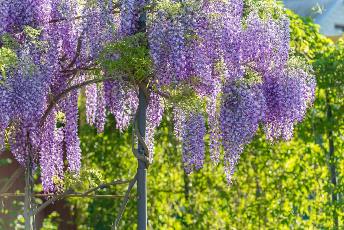 Wisteria is a beautiful flowering vine that must be kept pruned.