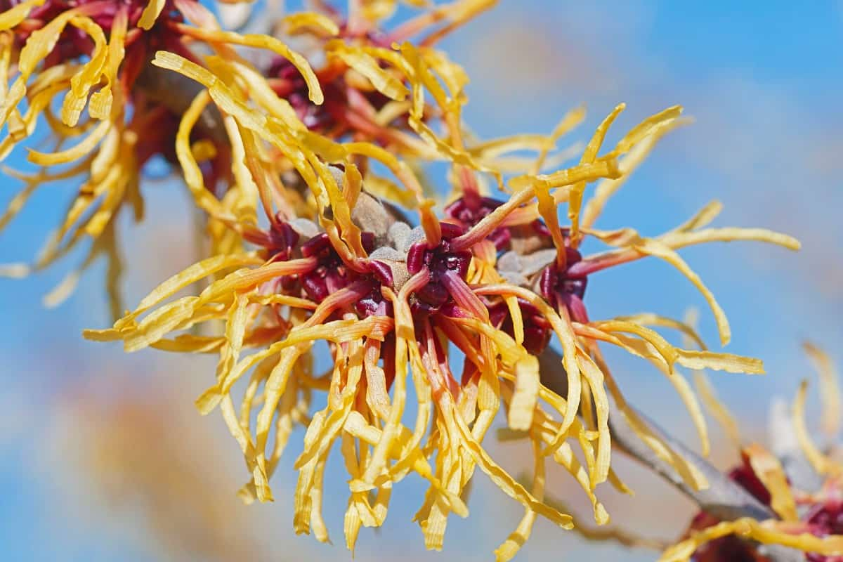 Witch hazel starts blooming with fragrant flowers in late winter.