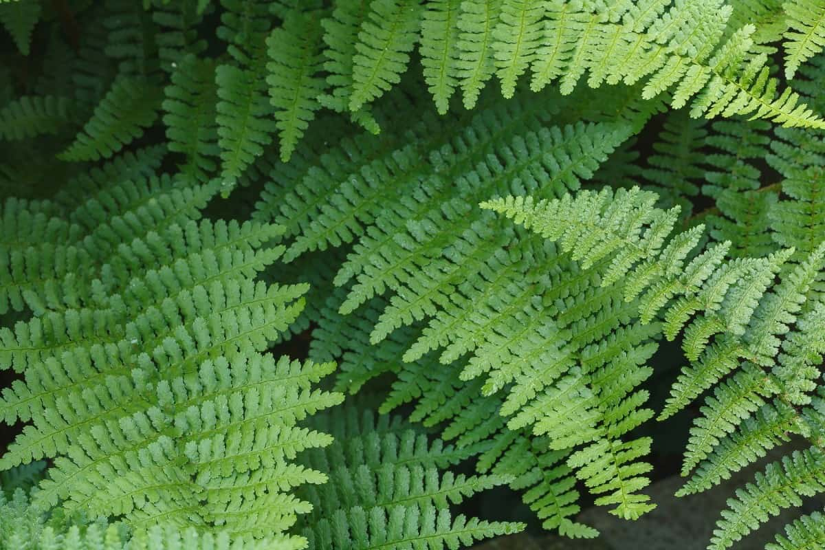 Wood ferns are highly adaptable ground cover plants.