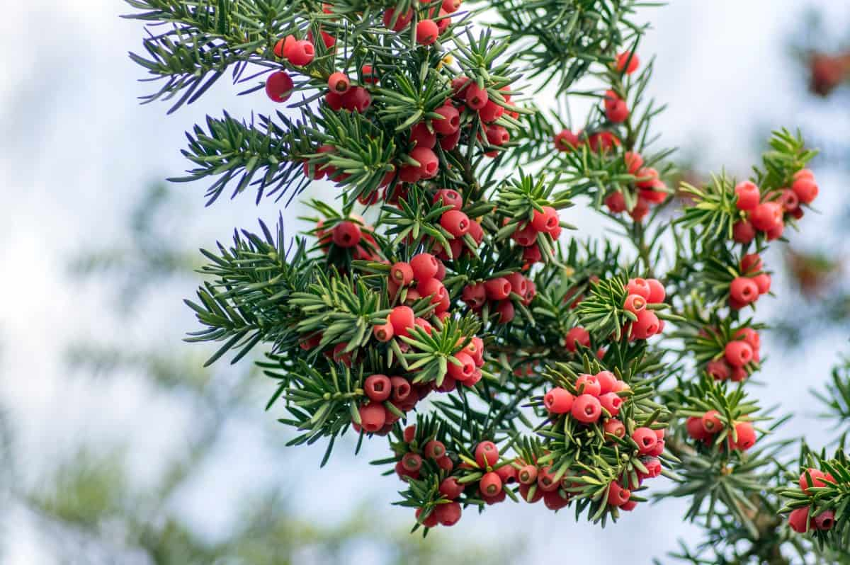 Yew shrubs are easily pruned into a variety of different shapes.