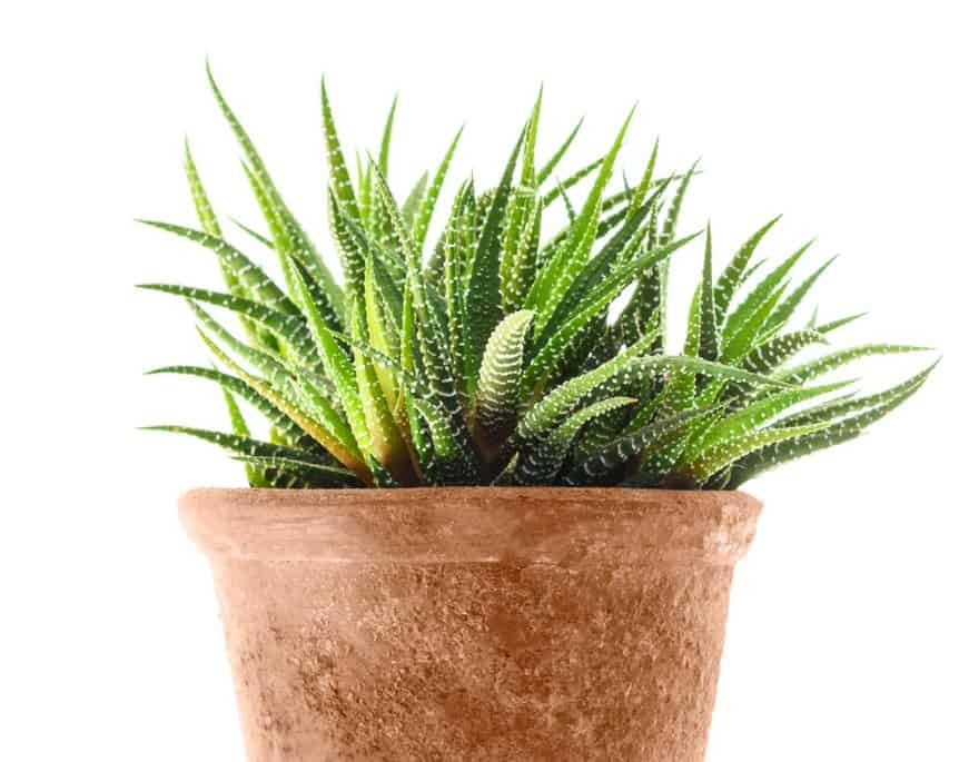 The zebra plant is known for its stripes.