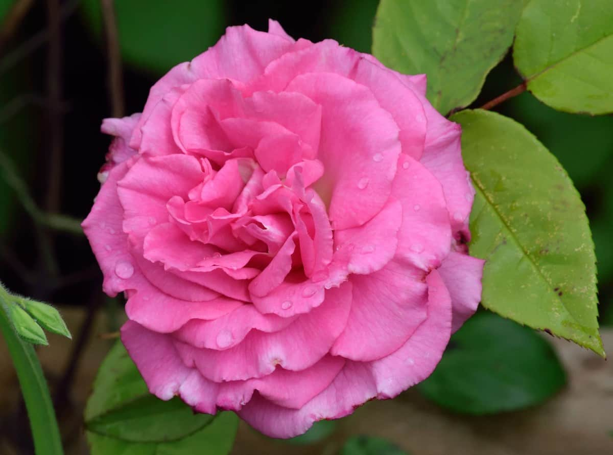For pink blooms that smell like raspberries, plant the Zephirine Drouhin rose.