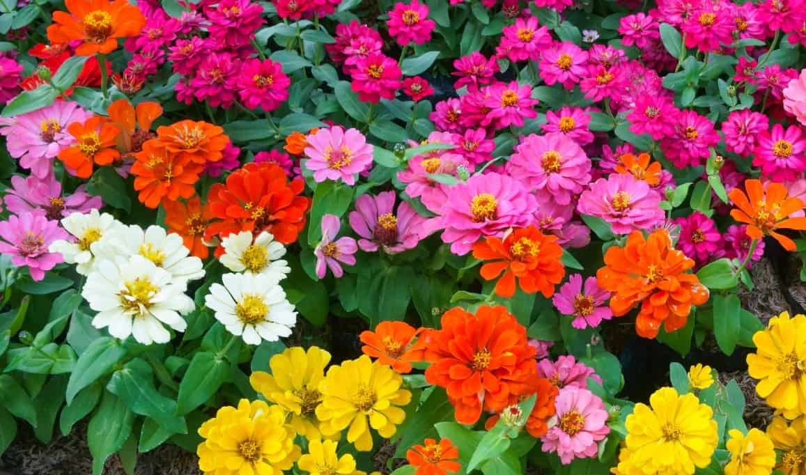 Zinnias are colorful flowers that are easy to grow from seeds.