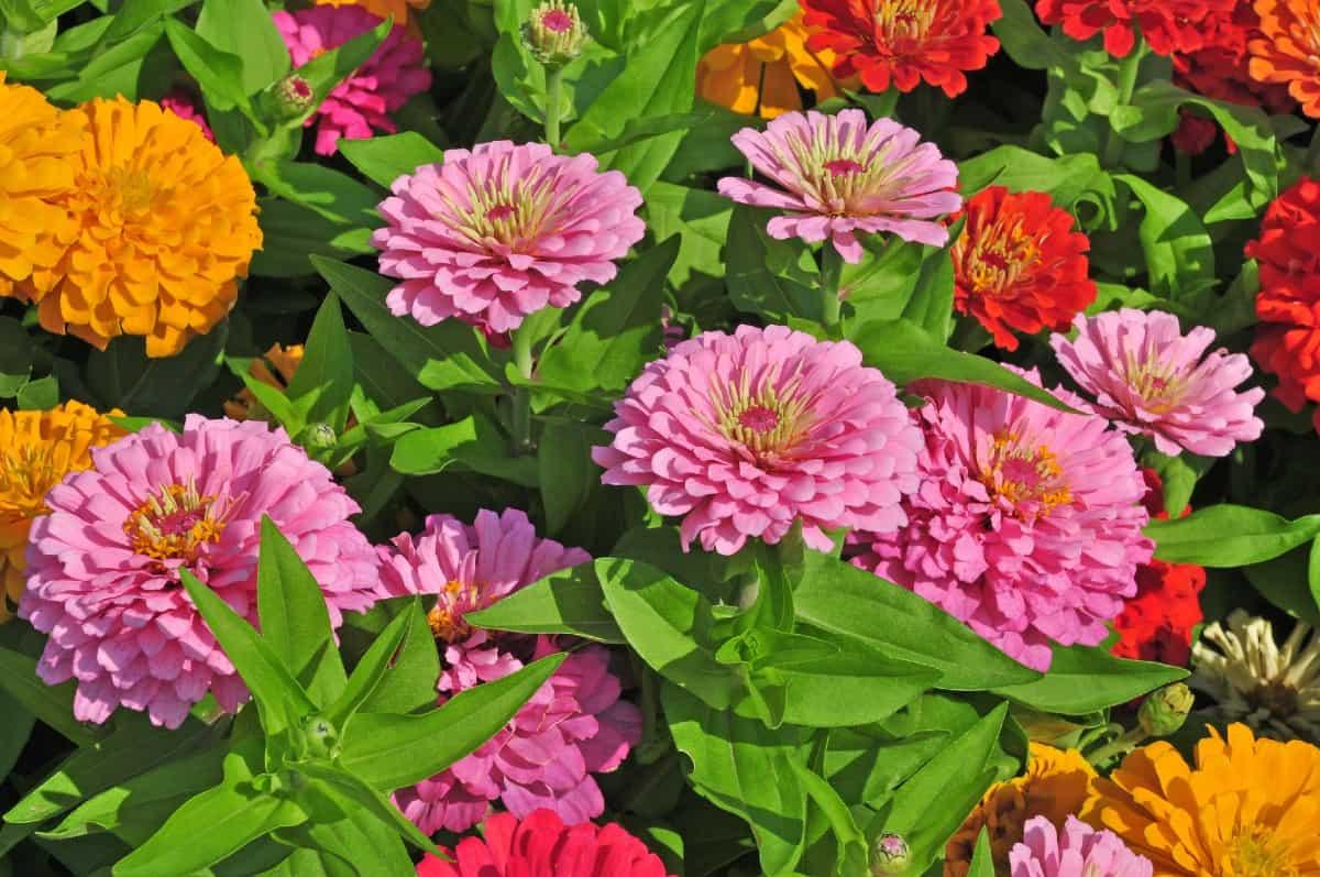Zinnias are brightly-colored daisy-like perennials.
